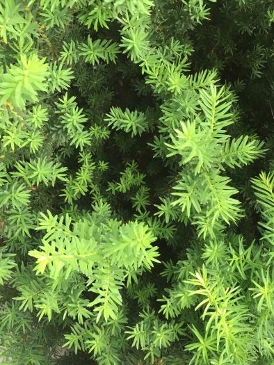 evergreen stars